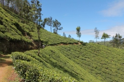 Our hike started among the tea gardens.